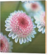 Pincushion Flowers Wood Print