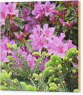 Pine Conifer Pink Azaleas 30 Summer Azalea Flowers Giclee Art Prints Baslee Troutman Wood Print