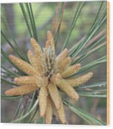 Pine Flower In Summer  Close Up Wood Print