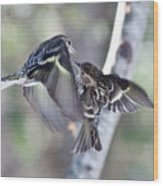 Pine Siskins Fighting 6829 Wood Print