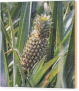 pineapple plantation in Kerala - India Wood Print