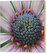 Pink African Daisy Detail Wood Print