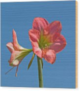 Pink Amaryllis Flowering In Spring Wood Print