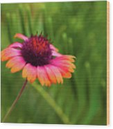 Pink And Orange Wild Daisy Wood Print
