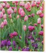 Pink And Purple Tulips At The Spring Floriade Festival Wood Print