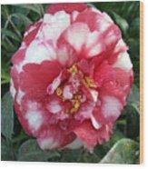 Pink And White Camillia Wood Print