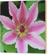 Pink And White Clematis Wood Print