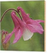 Pink And White Columbine Wood Print