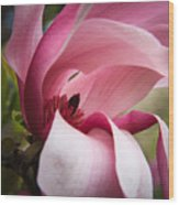 Pink And White Magnolia Wood Print