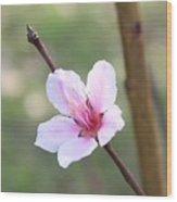 Pink And White Nectarine Blossom Wood Print