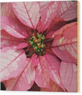 Pink And White Poinsettia Wood Print