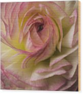 Pink And White Ranunculus Wood Print