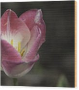 Pink And White Tulip 04 Wood Print