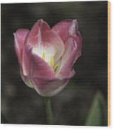Pink And White Tulip Squared 2 Wood Print