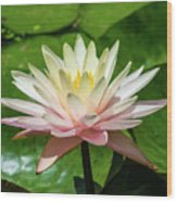 Pink And White Water Lily Wood Print