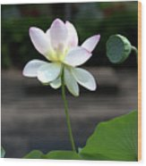 Pink And White Water Lily With Green Pod Wood Print