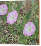 Pink Bindweed Wood Print