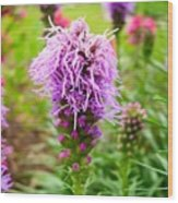 Purple Blazing Star 01 Wood Print