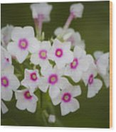 Pink Bright Eyes Garden Phlox Wood Print