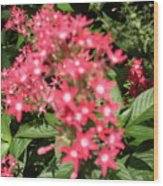 Pink Butterfly Penta Flowers Wood Print