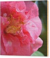 Pink Camelia Closeup Wood Print