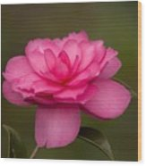 Pink Camellia 3 Wood Print