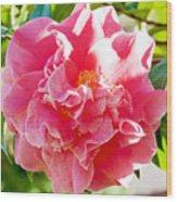 Pink Camellia At Pilgrim Place In Claremont-california  Wood Print