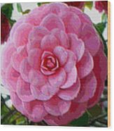 Pink Camellia Dream  Wood Print