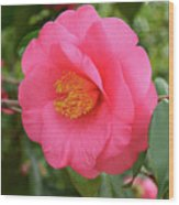 Pink Camellia Flower Wood Print