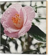 Pink Camellia With Raindrops Wood Print by Eva Thomas