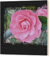Pink Camellias With Fence And Framing Wood Print