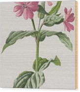 Pink Campion Wood Print