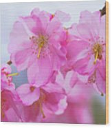 Pink Cherry Blossom Cluster Wood Print