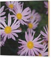 Pink Clara Curtis Daisy Chrysanthemum Wood Print