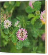 Pink Clover Flowers Wood Print