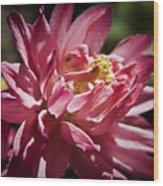 Pink Columbine Wood Print