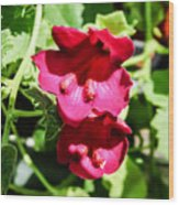 Pink Creeping Gloxinia Wood Print