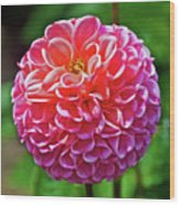 Pink Dahlia In Golden Gate Park In San Francisco, California  Wood Print