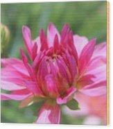 Pink Dahlia Beauty Wood Print