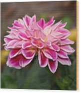 Pink Dahlia Power Wood Print