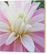 Pink Dahlias Art Dahlia Flowers Giclee Prints Baslee Troutman Wood Print