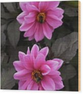 Pink Dahlias With Bees Wood Print