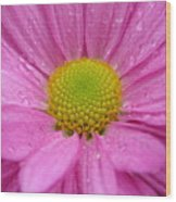 Pink Daisy With Raindrops Wood Print