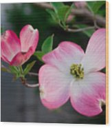 Pink Dogwood In The Morning Light Wood Print