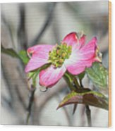 Pink Dogwood Wood Print by Kerri Farley