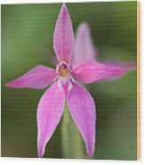 Pink Fairy Orchid 3 Wood Print