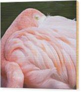 Pink Flamingo Hiding Its Head On Its Plumage. Wood Print