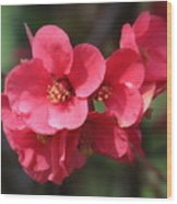Pink Flowering Quince Wood Print