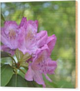Pink Flowering Rhododendron Bush In Full Bloom Wood Print