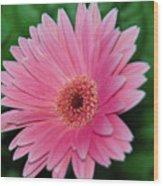Pink Gerbera Delight Wood Print
